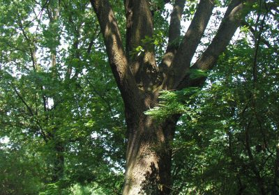 Dąb szypułkowy (quercus robur) na Piastów Śląskich