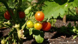 Pomidory z ogrodu społecznego