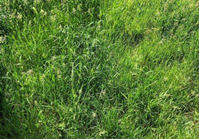 Niekoszony trawnik